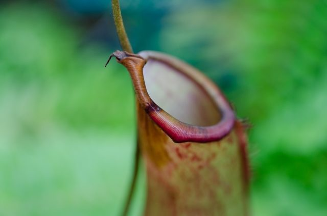 コバエ 食 虫 植物