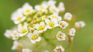 ロマンチックなナズナの花言葉の意味と、ぺんぺん草の鳴らし方