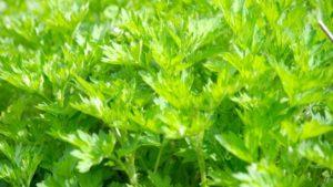 よもぎ摘みの時期はいつ?トリカブトとの見分け方と栽培方法