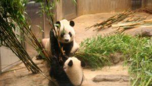 雨の日・日曜夕方の動物園は混雑してる?シャンシャン先着順観覧体験!【6月10日】